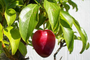 """Plums might turn into """"local harvest"""" jam"""